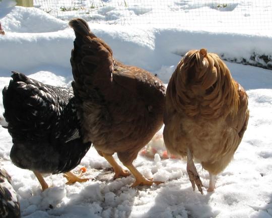 Chicken Bottoms
