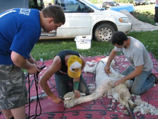 Shearing 1