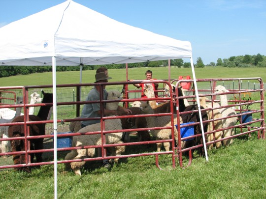 Shearing 4
