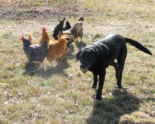Shadow & Chickens