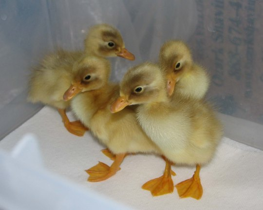 New Farm Ducks