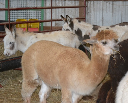 Donks & Alpacas