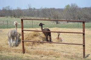 Shearing 2014_015