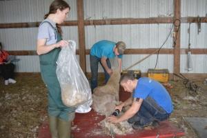 Shearing 2014_041