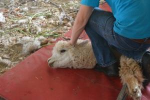Shearing 2014_043