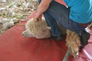 Shearing 2014_045