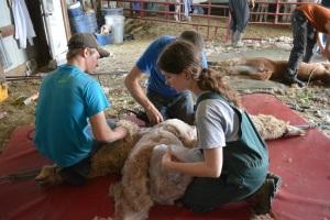 Shearing 2014_046