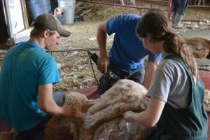 Shearing 2014_047