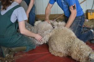Shearing 2014_049