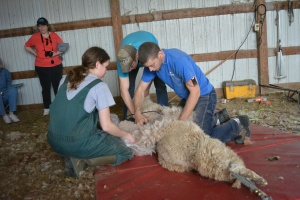Shearing 2014_050