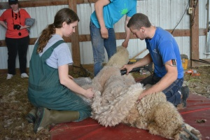 Shearing 2014_052