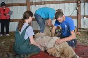 Shearing 2014_053