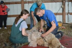 Shearing 2014_055