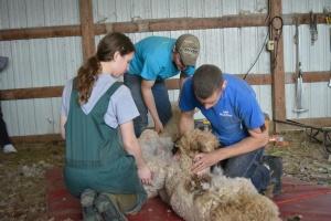 Shearing 2014_056
