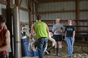 Shearing 2014_059