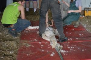 Shearing 2014_061