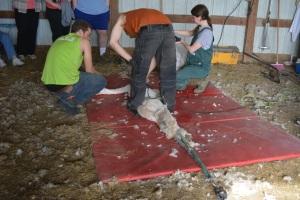 Shearing 2014_063