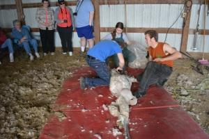 Shearing 2014_066