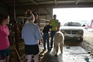 Shearing 2014_069