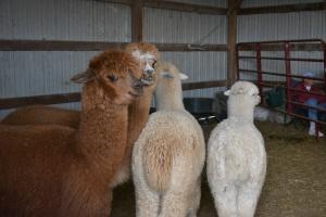 Shearing 2014_070