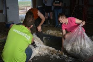 Shearing 2014_084