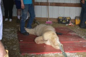 Shearing 2014_086