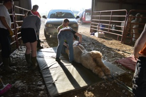 Shearing 2014_141