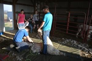 Shearing 2014_142