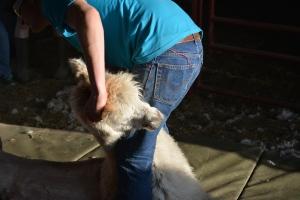 Shearing 2014_144
