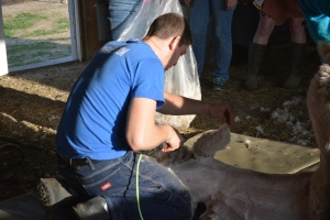 Shearing 2014_146