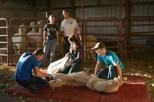 Shearing 2014_147