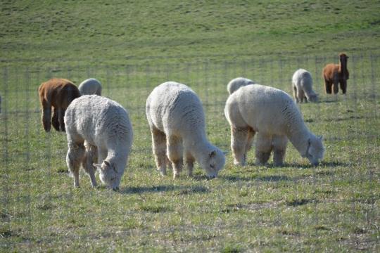 Shearing 2014_170