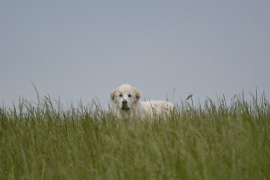 Bella in Tall Grass