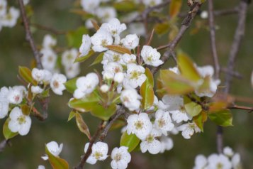 Pear Tree Bloom 1